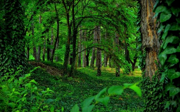 Earth Forest Greenery Ivy HD Wallpaper | Background Image