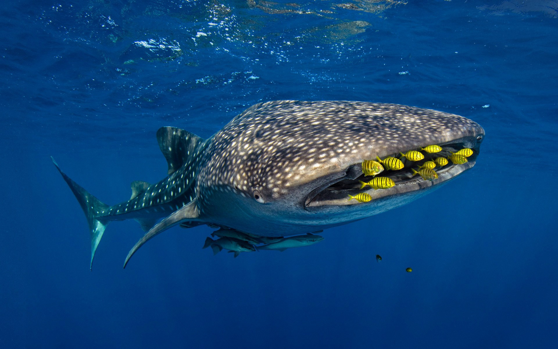 whale shark hd wallpaper background image 1920x1200 id 870751