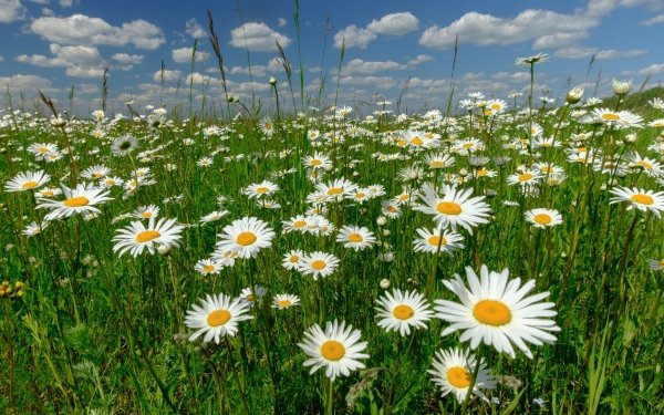 Earth Daisy Flowers Flower Nature White Flower Summer HD Wallpaper   Background Image