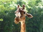 Preview girafe