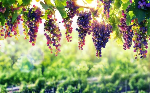 Food Grapes Fruits Fruit Depth Of Field Sunny HD Wallpaper | Background Image