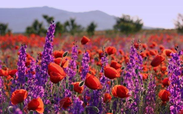 Tierra/Naturaleza Amapola Flores Naturaleza Flor Verano Depth Of Field Red Flower Purple Flower Fondo de pantalla HD | Fondo de Escritorio