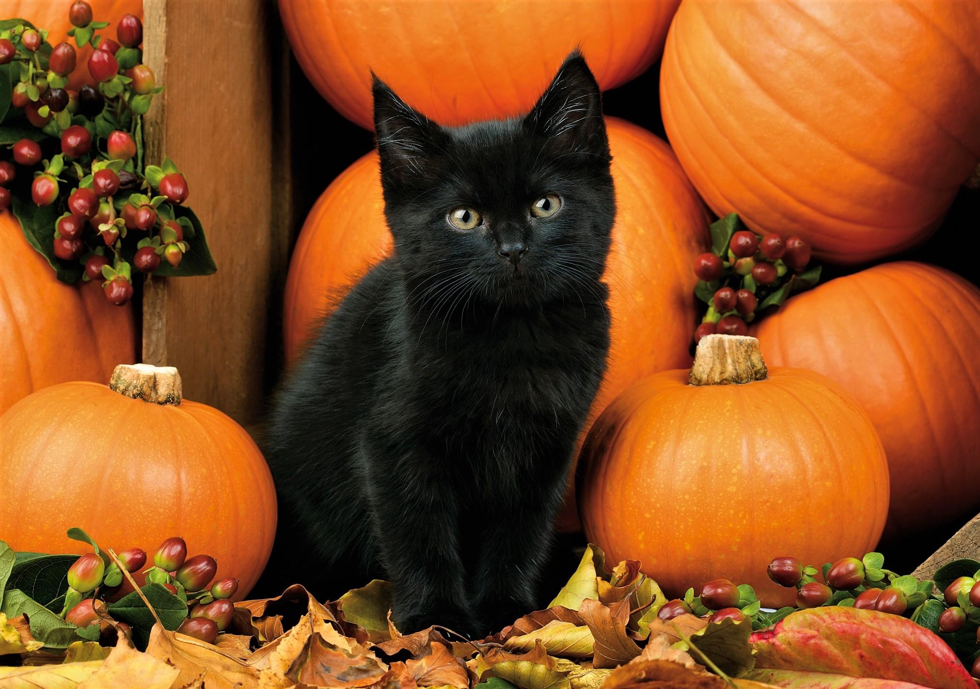 Black kitten with pumpkins hd wallpaper background image 2020x1420 id 877725 wallpaper abyss - Fall wallpaper pumpkins ...