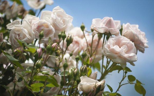 Earth Rose Flowers Nature Flower White Flower Rose Bush HD Wallpaper | Background Image