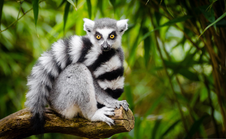 Lemur HD Wallpaper | Background Image | 2880x1775 | ID ...
