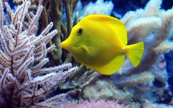 Animal Fish Fishes Coral Sea Life Yellow Tang HD Wallpaper | Background Image
