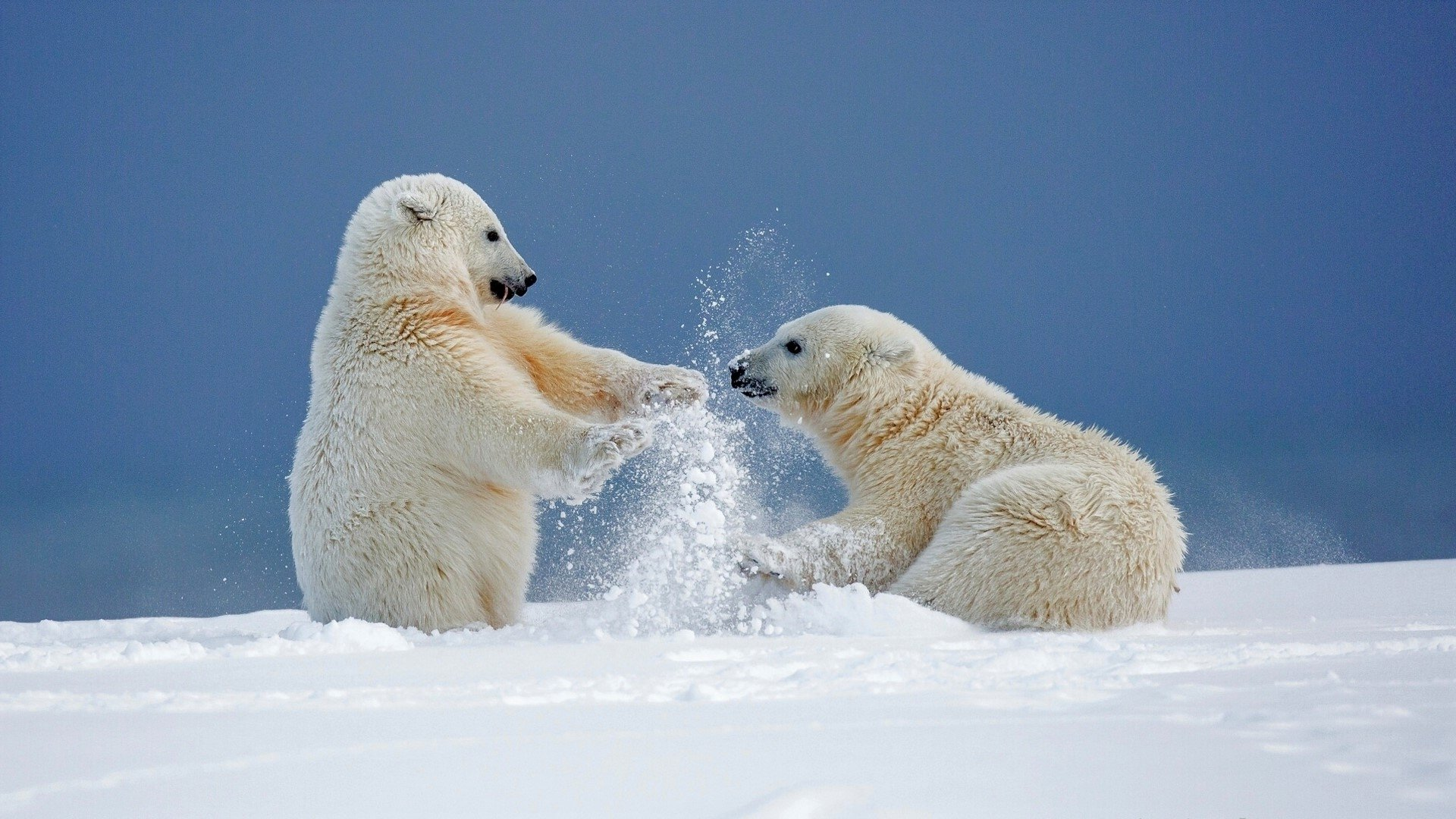 polar bears playing in the snow hd wallpaper background. Black Bedroom Furniture Sets. Home Design Ideas
