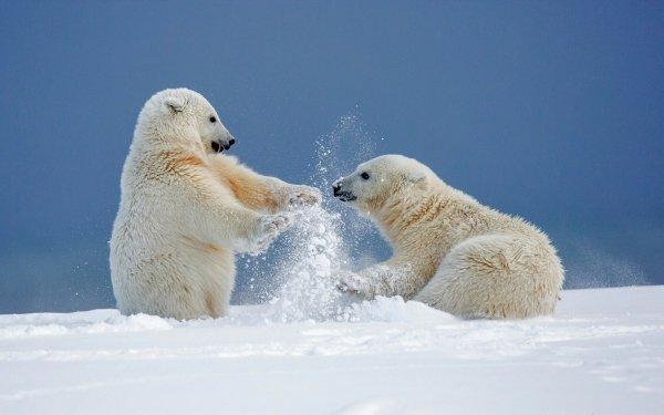 Animal Polar Bear Bears Playing Snow Winter Cute HD Wallpaper | Background Image