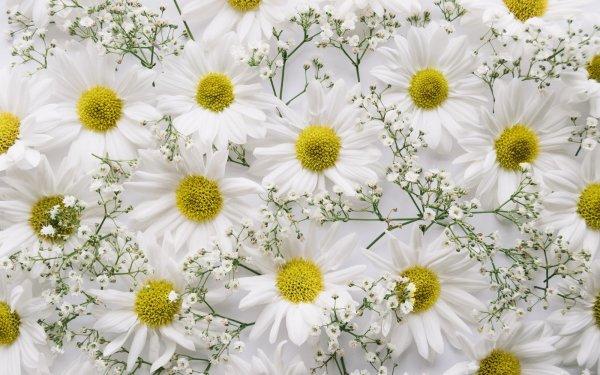 Earth Flower Flowers Chrysanthemum Baby's Breath White Flower HD Wallpaper   Background Image