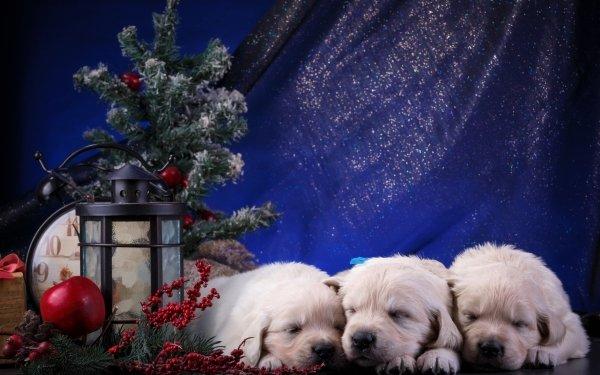 Animaux Chiot Chiens Chien Golden Retriever Mignon Sleeping Noël Decoration Baby Animal Fond d'écran HD | Arrière-Plan