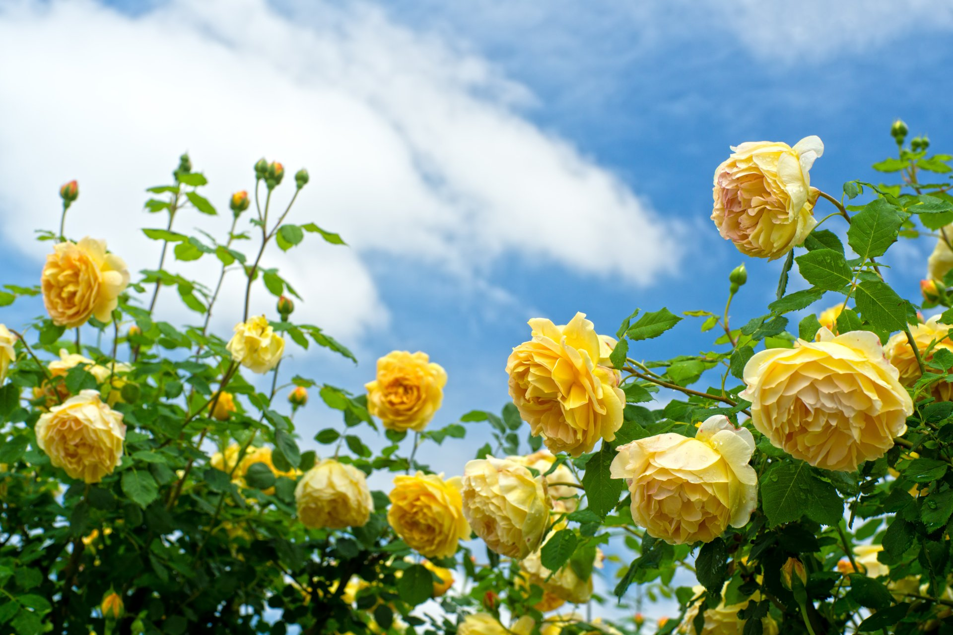 Earth - Rose  Nature Flower Yellow Flower Rose Bush Wallpaper