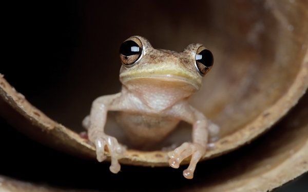 Animal Frog Frogs Wildlife Amphibian Close-Up HD Wallpaper   Background Image