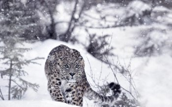 346 Snow Leopard Hd Wallpapers Background Images Wallpaper Abyss