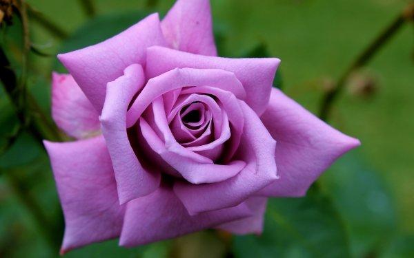 Earth Rose Flowers Flower Purple Rose Pink Flower HD Wallpaper   Background Image