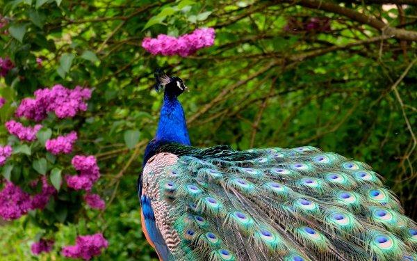 Animaux Paon Oiseaux Oiseau Pink Flower Fond d'écran HD | Arrière-Plan