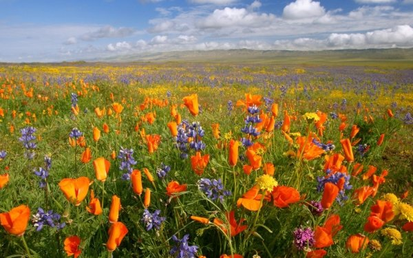 Earth Flower Flowers Nature Field Colors Poppy HD Wallpaper | Background Image