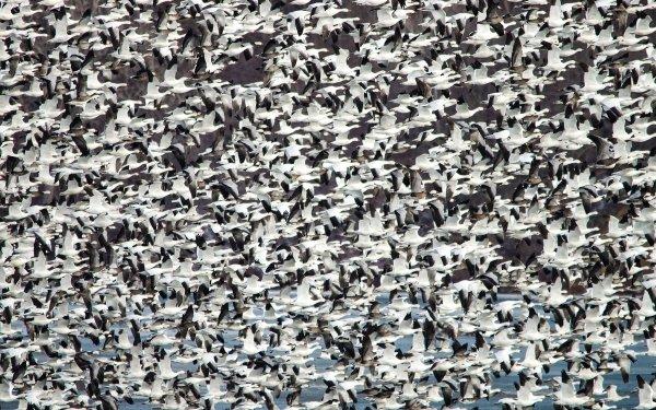 Animal Goose Birds Geese Wildlife Bird Flock Of Birds HD Wallpaper | Background Image