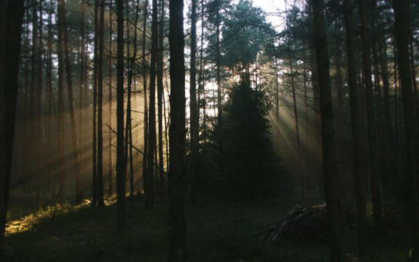 Earth Sunbeam Nature Forest Tree HD Wallpaper   Background Image