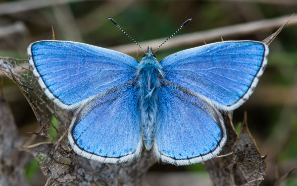 Animal Butterfly Adonis Blue HD Wallpaper | Background Image