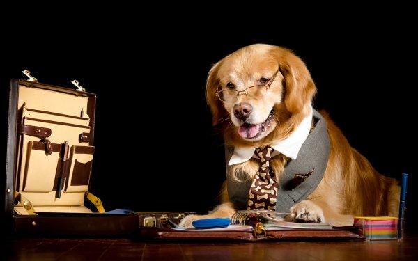 Animal Golden Retriever Dogs Dog Pet HD Wallpaper | Background Image