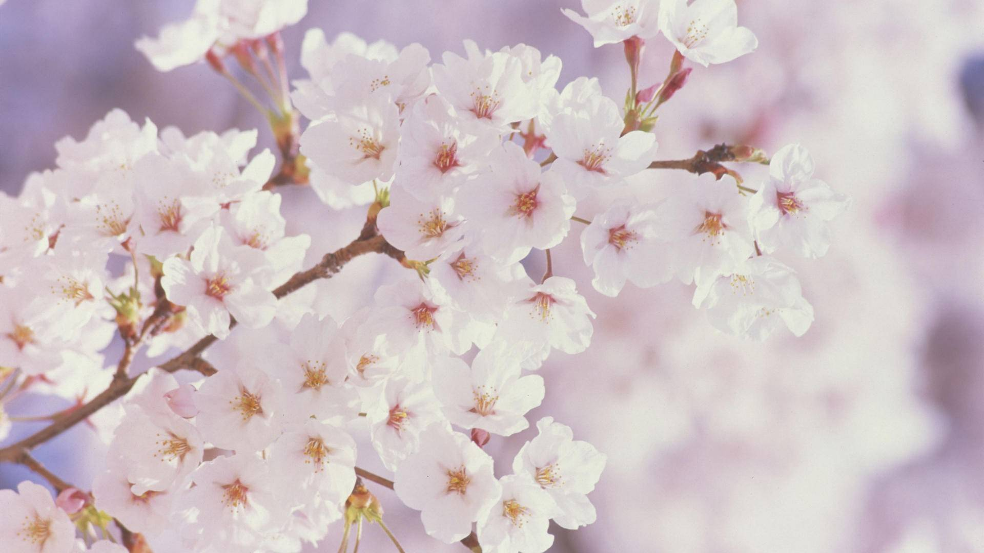 Cherry Blossom Spring Wallpapers ID937176