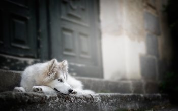 4 4k Ultra Hd Siberian Husky Wallpapers Background Images Wallpaper Abyss
