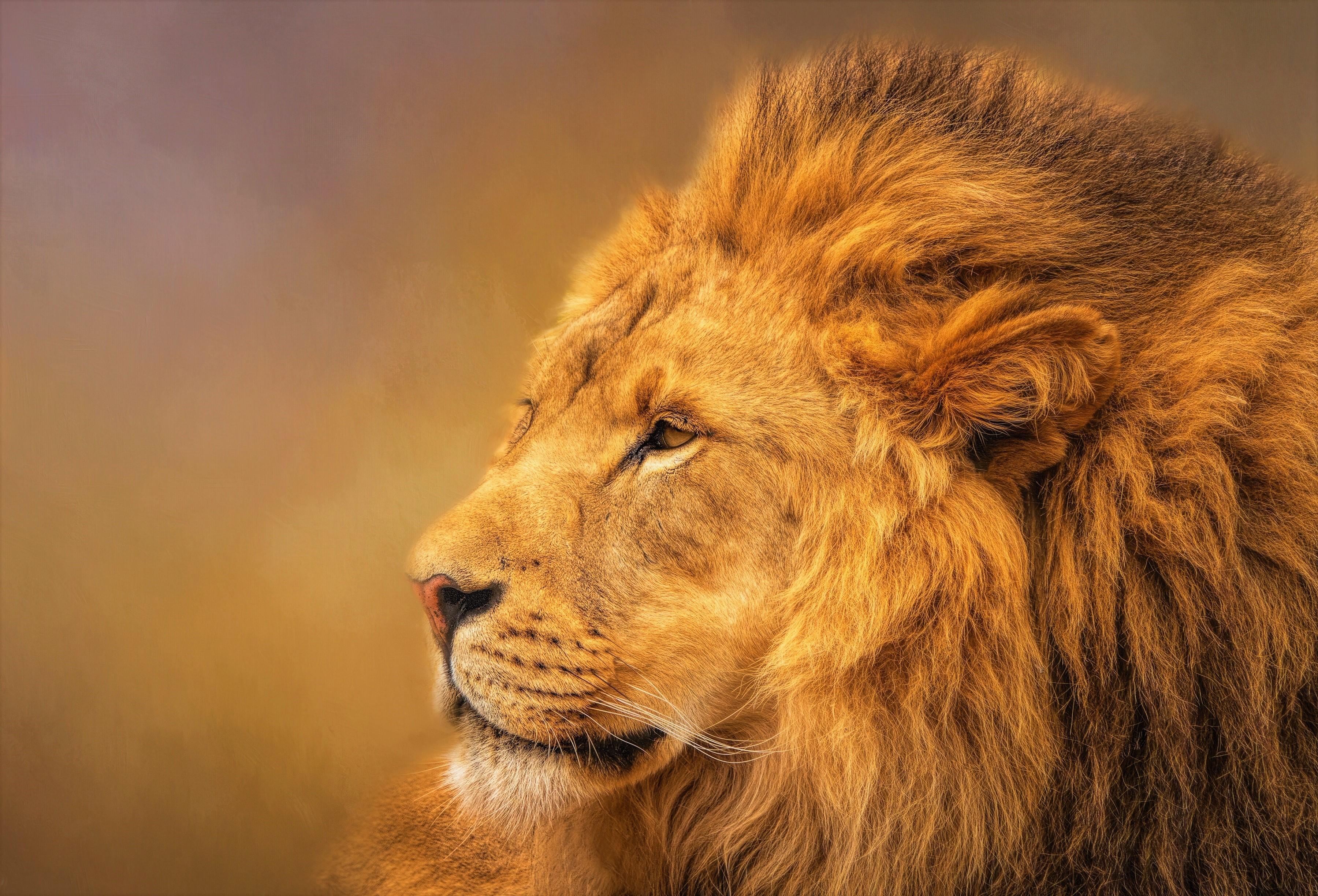 Beautiful Profile of Male Lion HD Wallpaper   Background ...