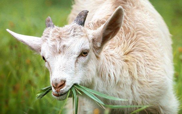 Animal Goat HD Wallpaper | Background Image