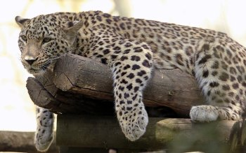 791 leopard hd wallpapers background images wallpaper abyss page 17 - 3000x1920 wallpaper ...