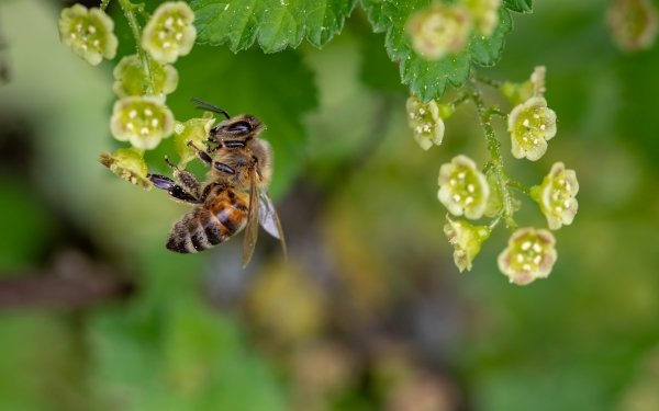 Animal Bee Insects Insect Flower HD Wallpaper | Background Image