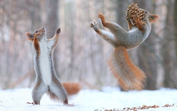 Animal Squirrel Playing Funny Acorn Wildlife Rodent HD Wallpaper | Background Image