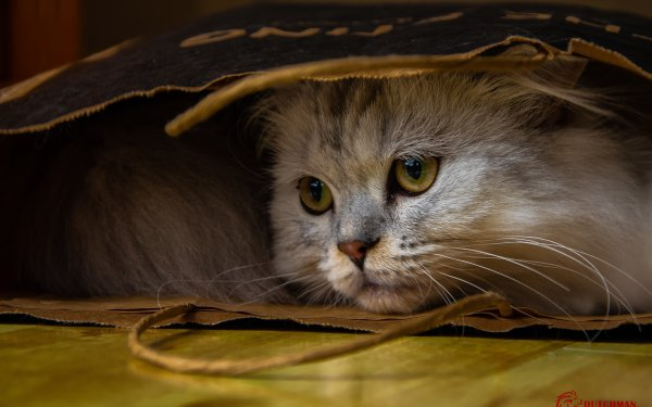 Animal Cat Cats Bag Resting HD Wallpaper | Background Image