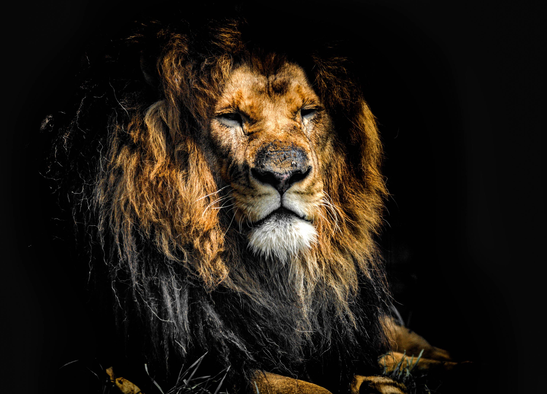 Imagenes de fondo de pantalla de leon