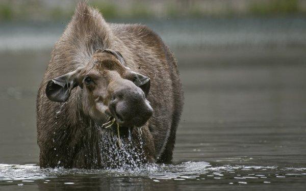 Animal Moose Water Wildlife HD Wallpaper | Background Image