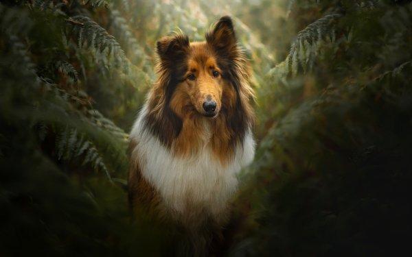 Animal Shetland Sheepdog Dogs Dog Pet HD Wallpaper   Background Image