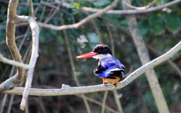 Animal Kingfisher Birds Kingfishers Bird Black-Capped Kingfisher HD Wallpaper   Background Image