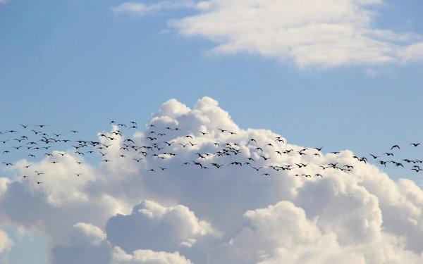 Animal Bird Birds Sky Cloud Flock Of Birds HD Wallpaper | Background Image
