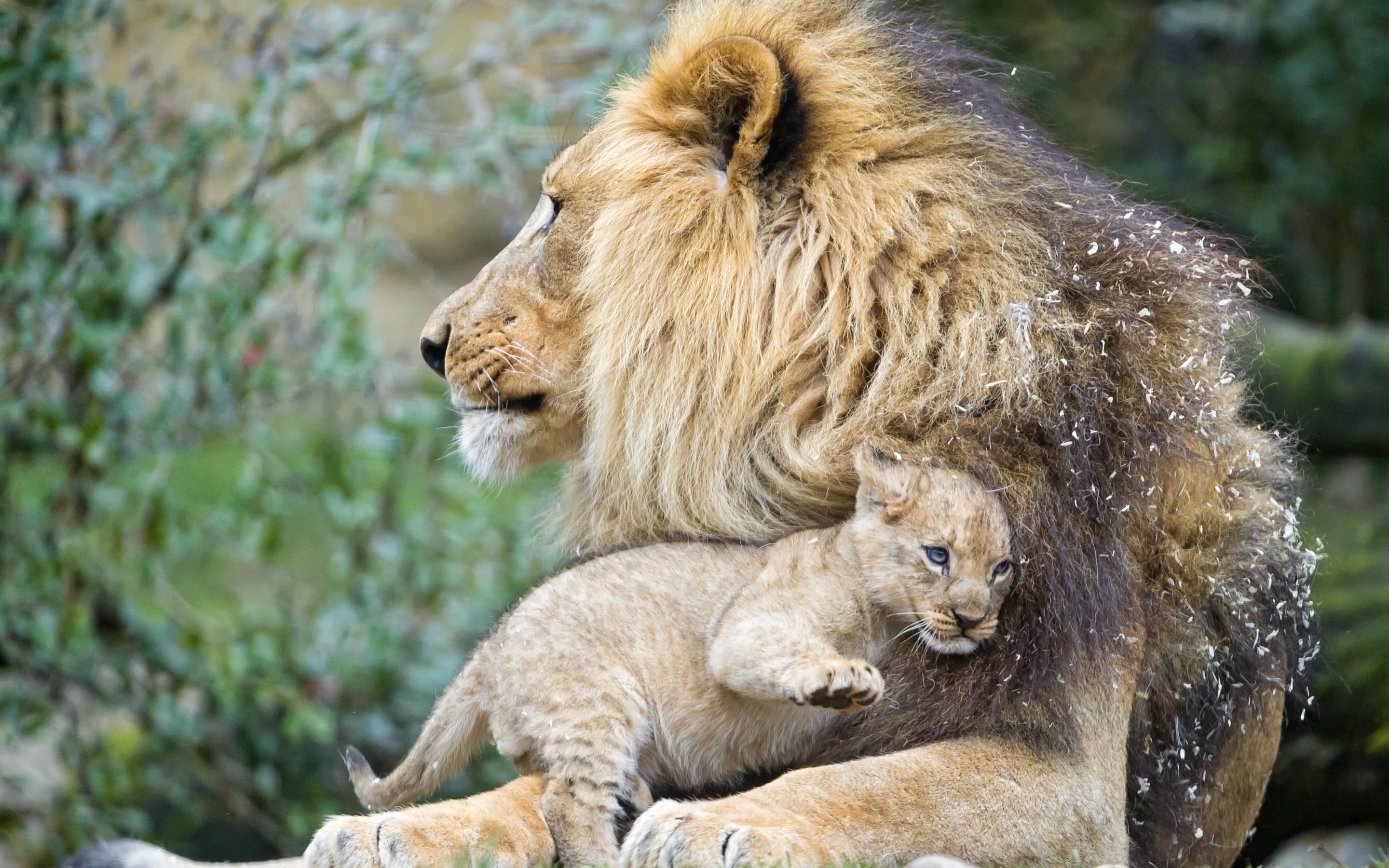 Male Lion with Cub HD Wallpaper   Background Image ...