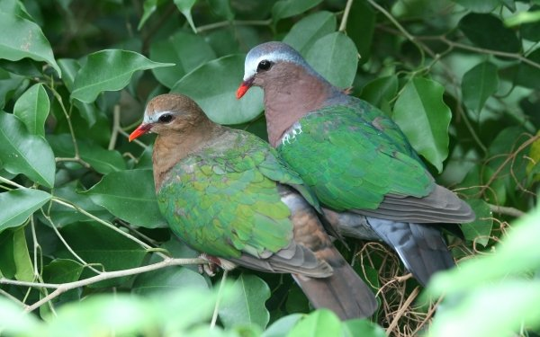 Animal Dove Birds Columbidae Bird Common Emerald Dove HD Wallpaper | Background Image